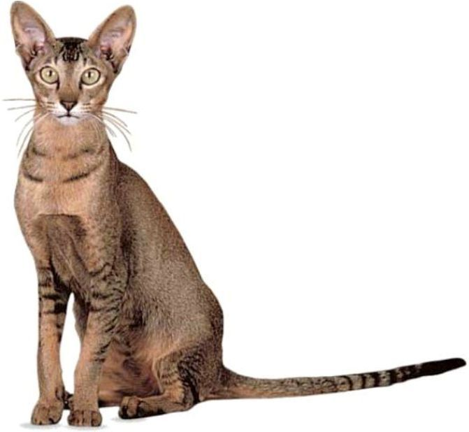 kucing oriental shorthair